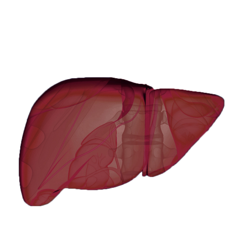Liver and hepatic system